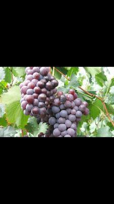 山东省菏泽市单县夏黑葡萄  1-1.5斤 5%以下 1次果 质量保证  服务到位