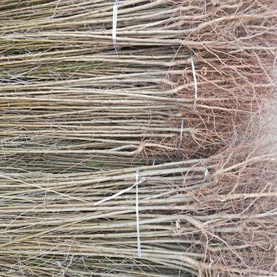这是一张关于毛桃苗  1.5~2.0米 1.5公分占地桃树苗的产品图片