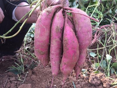河北省邯郸市临漳县商薯19红薯苗 25~35cm