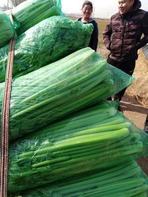 山东省济宁市金乡县西芹 70cm 0.5斤以下 大棚种植
