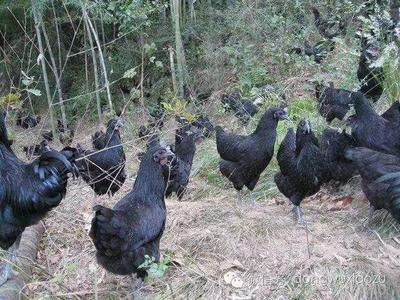 这是一张关于五黑鸡苗  五黑绿壳蛋鸡苗的产品图片