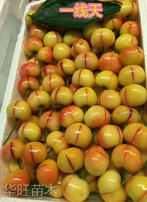 一线天樱桃 一线天  最火爆的新品种  个头大 甜度高 耐储存