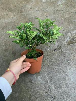 广东省广州市荔湾区清香木盆栽