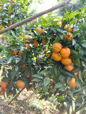 这是一张关于沃柑苗 嫁接苗 0.2米以下 的产品图片