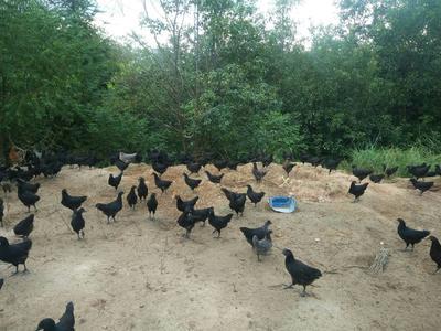 广东省梅州市平远县乌骨绿壳蛋鸡 2-3斤