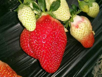 辽宁省沈阳市新民市全明星草莓 20克以上