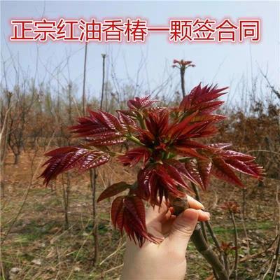 江苏省宿迁市沭阳县泰山香椿苗 2公分以下