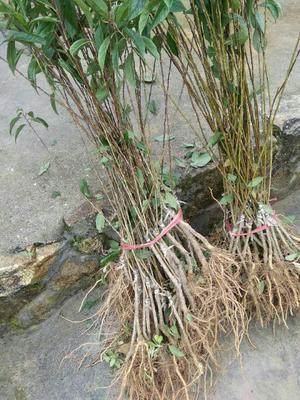 这是一张关于芙蓉李树苗 的产品图片