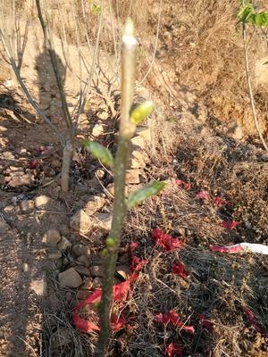 这是一张关于攀枝花黑桑葚 1 - 2cm 的产品图片