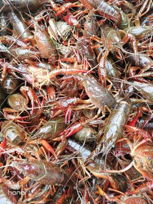 这是一张关于中国龙虾 国产 0.4斤/只以下 的产品图片