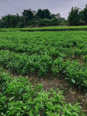 这是一张关于沃柑苗 杯苗袋苗 0.5~1米 的产品图片