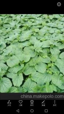 这是一张关于尖椒苗 8~10片真叶 的产品图片