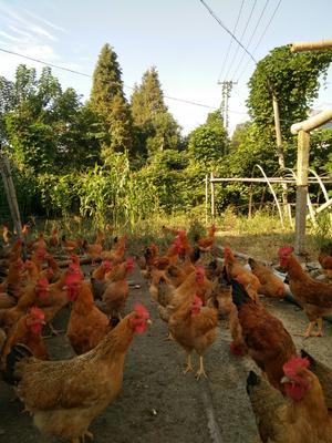 这是一张关于土杂鸡 3-4斤 母 的产品图片