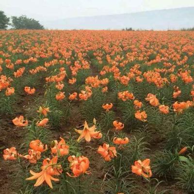 甘肃省兰州市榆中县百合种子  大量出售百合种子……