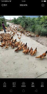 这是一张关于土鸡 母 2-3斤 的产品图片