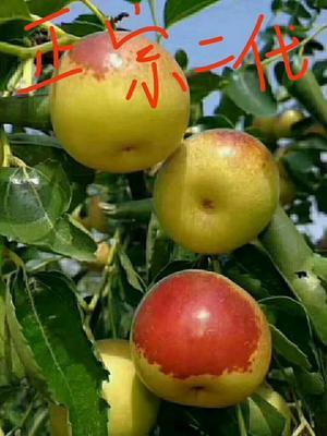 这是一张关于冬枣树苗 的产品图片