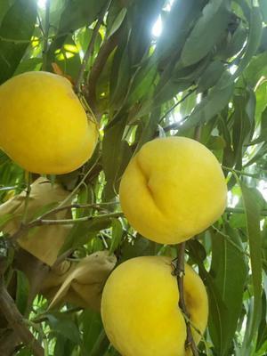 这是一张关于锦绣黄桃苗  0.5~1米 嫁接黄蜜4号桃树苗的产品图片