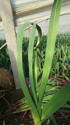 山东省烟台市莱州市红根蒜苗 60 - 70cm