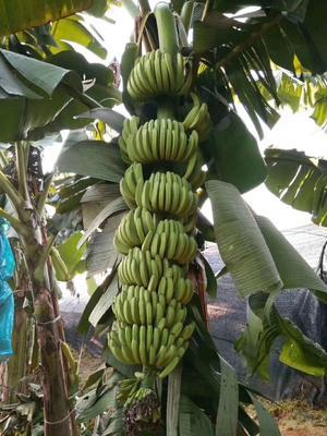 这是一张关于南美香蕉苗 的产品图片