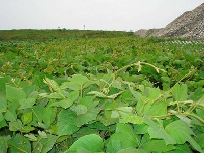 陕西省汉中市汉台区人工种植葛根 4.5斤以上