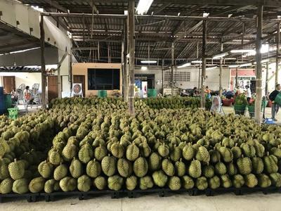 辽宁省葫芦岛市龙港区泰国东部金枕榴莲 3 - 4公斤 90%以上