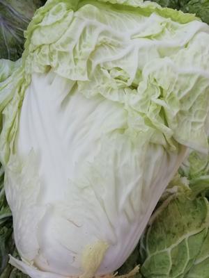 河南省安阳市滑县大头白菜 3~6斤 净菜