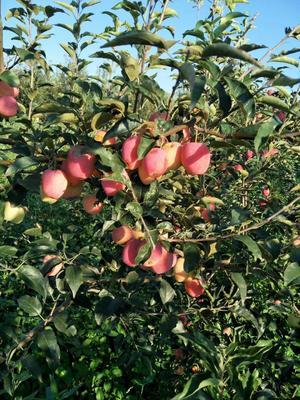 这是一张关于泰山小苹果苗 0.5~1米 的产品图片