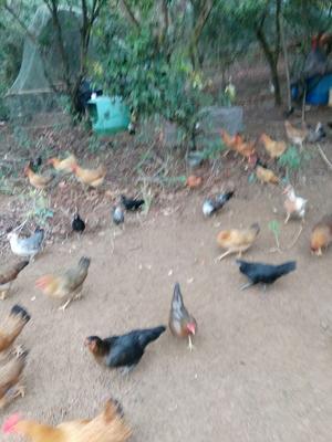 这是一张关于云南微型鸡 2斤以下 统货 的产品图片
