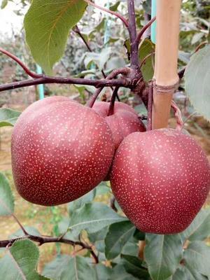 这是一张关于全红梨树苗 1~1.5米 的产品图片