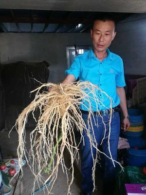 山东省潍坊市寿光市乾德番砧 ≥99.9% 杂交种 ≥97%