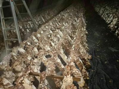 广西壮族自治区河池市天峨县菌棒(不含菌种)  可做香菇木耳秀珍菇棒