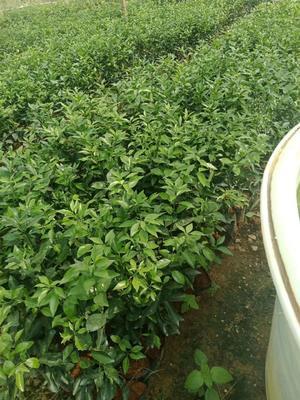 这是一张关于沙糖桔苗 杯苗袋苗 0.5~1米 的产品图片