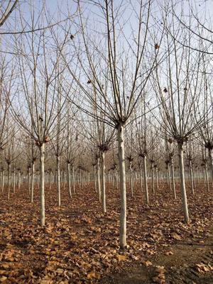 这是一张关于法国桐树 的产品图片