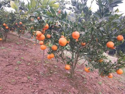 这是一张关于芦柑 5 - 5.5cm 1 - 1.5两 的产品图片