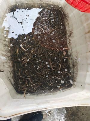 江苏省连云港市海州区台湾泥鳅苗