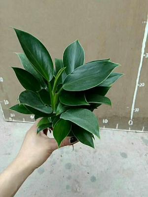 广东省广州市荔湾区绿公主盆栽