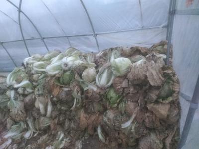 安徽省宿州市埇桥区青杂5号 3~6斤 净菜