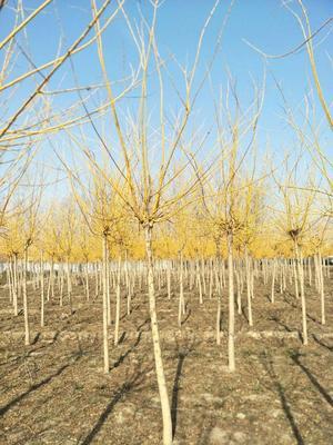 这是一张关于金槐 的产品图片