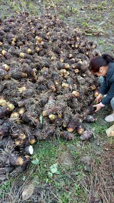 广西壮族自治区河池市罗城仫佬族自治县粉芋头 通货