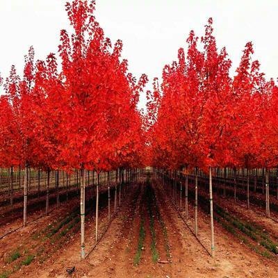 这是一张关于美国红枫苗 的产品图片
