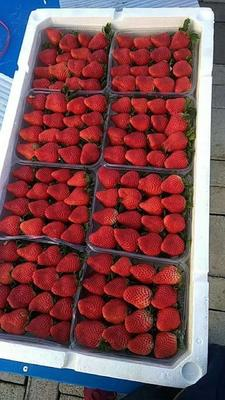山东省青岛市平度市甜宝草莓 30克以上