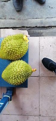 这是一张关于越南金枕榴莲 4 - 5公斤 90%以上 的产品图片