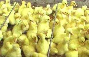 这是一张关于四川白鹅苗 的产品图片
