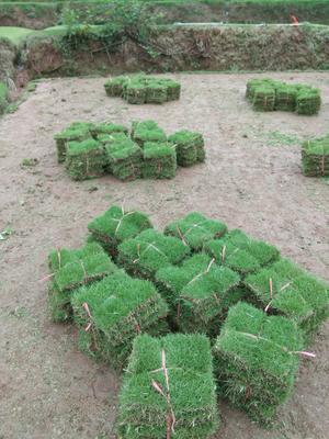 重庆璧山区结缕草