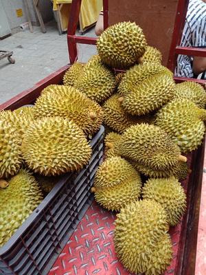 云南省红河哈尼族彝族自治州河口瑶族自治县金枕头榴莲 2 - 3公斤 40 - 50%以上