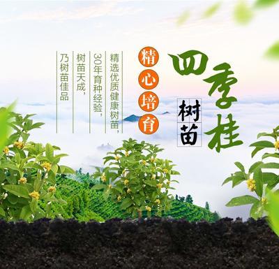 这是一张关于四季桂 的产品图片