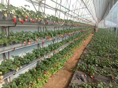 辽宁省丹东市东港市丹东草莓  30克以上 自家产一手货源