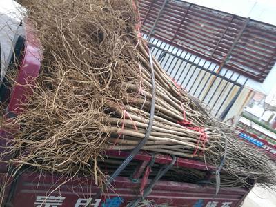 这是一张关于软籽石榴苗 的产品图片