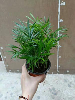 广东省广州市荔湾区袖珍椰子盆栽
