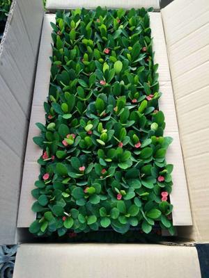 这是一张关于铁海棠 的产品图片